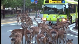 A herd of deer crossing intersection at Nara Park  奈良公園  鹿の群れが横断歩道を渡る
