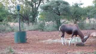 Blesbok Bow hunt