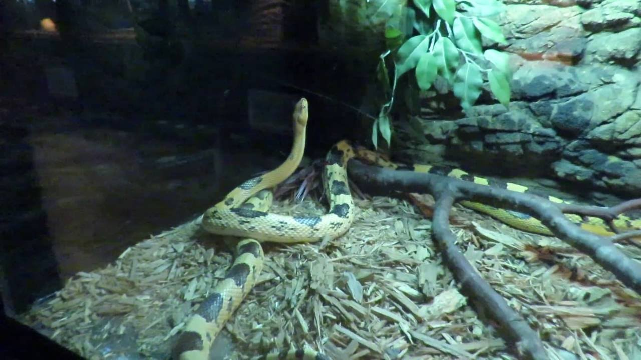 Ball Python West Africa & Beautiful Northern Mexican Pine Snake Reptile  Lagoon South of the Border