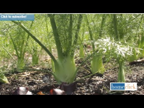 How To Grow Fennel | 8 Steps For Growing Fennel -Gardening Tips