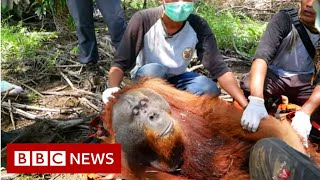 Leuser : Are palm oil farmers shooting orangutans?-  BBC News