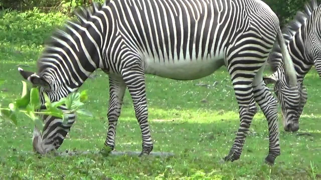 シマウマ Zebra ブロンクス動物園 - YouTube