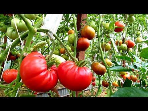 Как спеют томаты в  мокром и холодном июле/ Обзор и сбор урожая