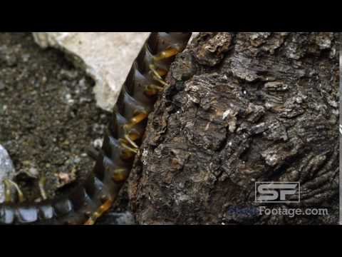 Peruvian Giant Centipede crawling on some tree bark