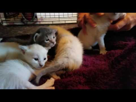 Lucy a  Lynx Point Siamese rescue and 3 week old babies