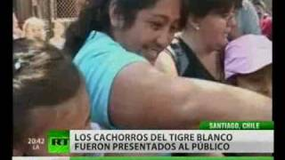 Cinco cachorros de tigre blanco fueron presentados en el zoo de Chile