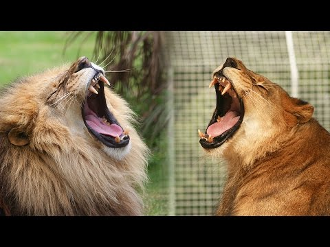 What Happens When You Neuter A Male Lion