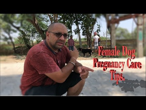Female Dog Pregnancy Care Tips.