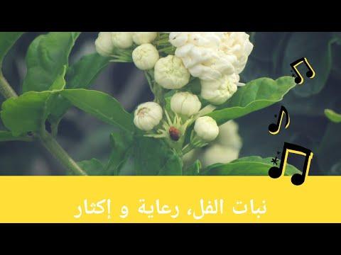 معلومات عن نبات الفل، كيفية رعاية نبات الفل و طرق إكثاره