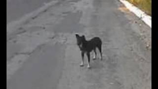Чёрные собаки - магические целители.