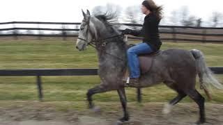 Burden-Schilling Saddlebreds: Crystal Clear Ice - Junior filly