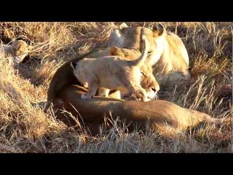 Lioness bathing cub