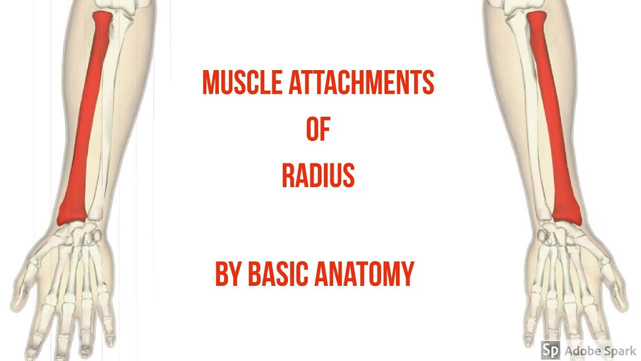 MUSCLES ATTACHMENT OF RADIUS || By Basic Anatomy - YouTube