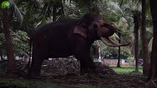 World's most magnificent and biggest tusker thumbnail