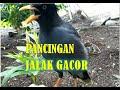 Masteran Jalak Kebo Gacor Tanpa Jeda Jalak Kebo Crewet  Mp3 - Mp4 Download
