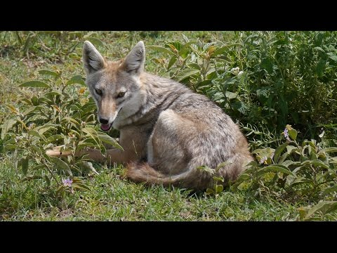 Jackal warns other animals of lions