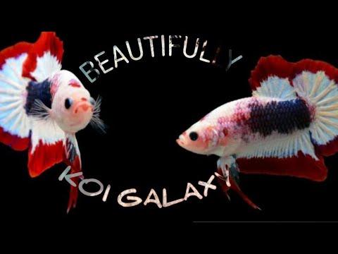 Keindahan cupang koi galaxy - YouTube