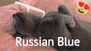 Cute Russian Blue  Cat grooming