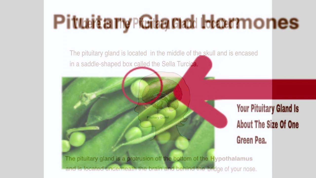 Where Is The Pituitary Gland Located Youtube