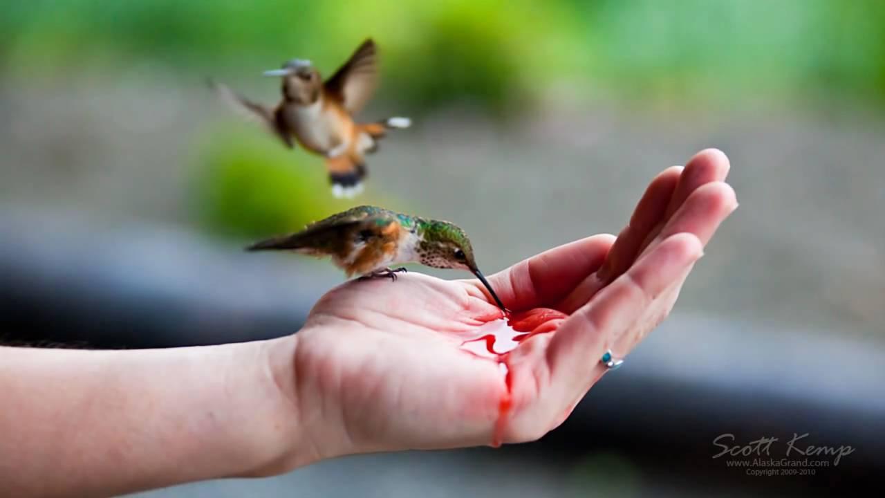 Hand feeding Hummingbirds - YouTube