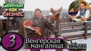 ЗАБОЙ ХРЯКА  /  ВЕНГЕРСКАЯ МАНГАЛИЦА