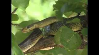 The Aesculapian Snake (Zamenis longissimus, previously Elaphe longissima)