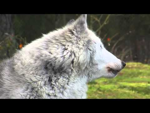 Samantha the gray wolf howls while lying down