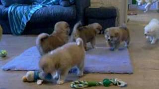 Akita Inu: Ryu's puppies 33 days old at home (15/02/2011 O Chanur Kennel)