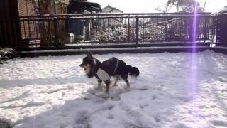 犬生初雪に触れた笑ちゃん。雪を食べながら歩いています。