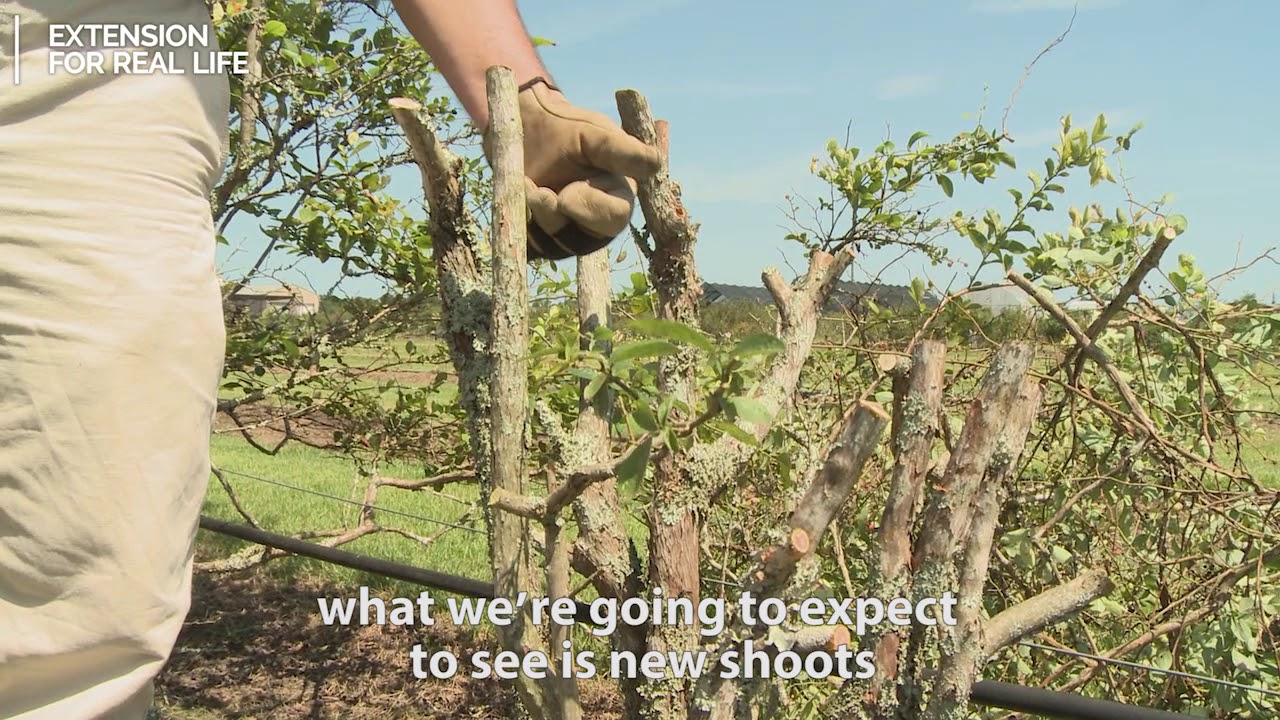 how to prune blueberry bushes video