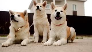 Порода собак. Акита-ину. Национальное достояние Японии. Самая крупная из местных японских пород
