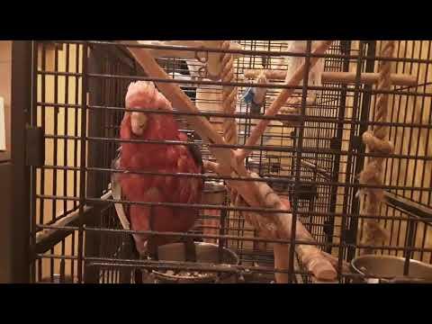 Попугай Фидель, розовый какаду, разговаривает