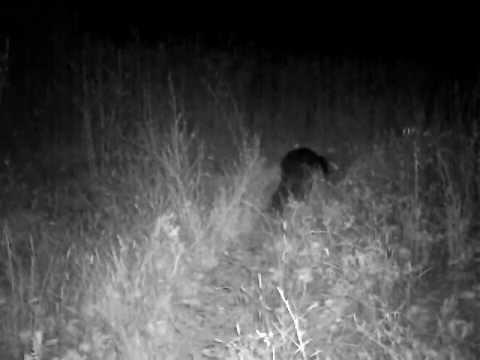 Un Castor d'Europe (Castor fiber) se déplace la nuit.