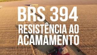 Trigo Irrigado BRS 394