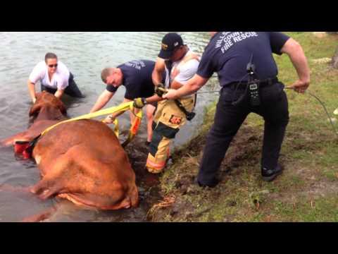 Bovine Rescue