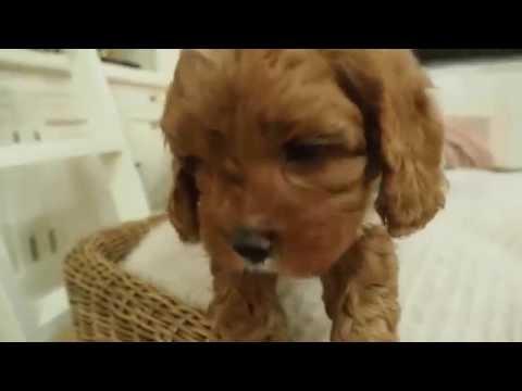 Izzy's Toy Cavoodle Boy 4108 - Pocket Puppies