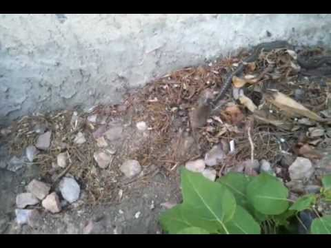 Garter snake eating mouse - YouTube