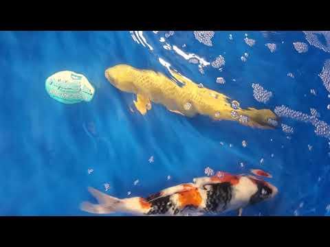 Atlanta Koi And Goldfish Show 2019(Koi Only)