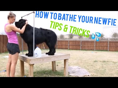 HOW TO BATHE YOUR NEWFIE