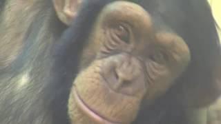 人間に一番近い生きものチンパンジー。 子どもに手がかかるところも似て...