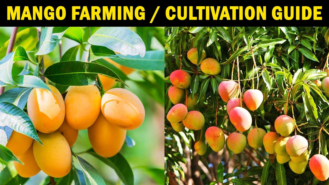 MANGO FARMING / MANGO CULTIVATION | How to grow Mango tree from Seed / Cutting at Home