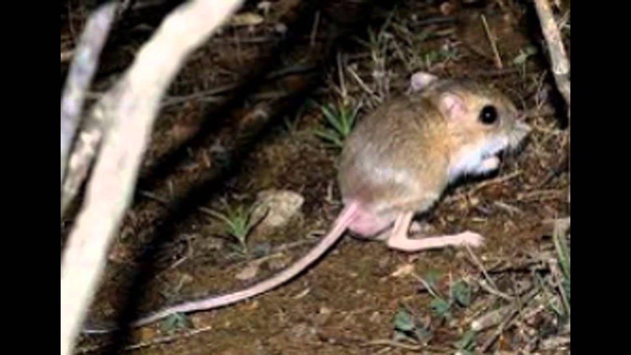 mundo animal rato canguru youtube