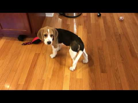 Beagle puppy chases his tail and gets dizzy
