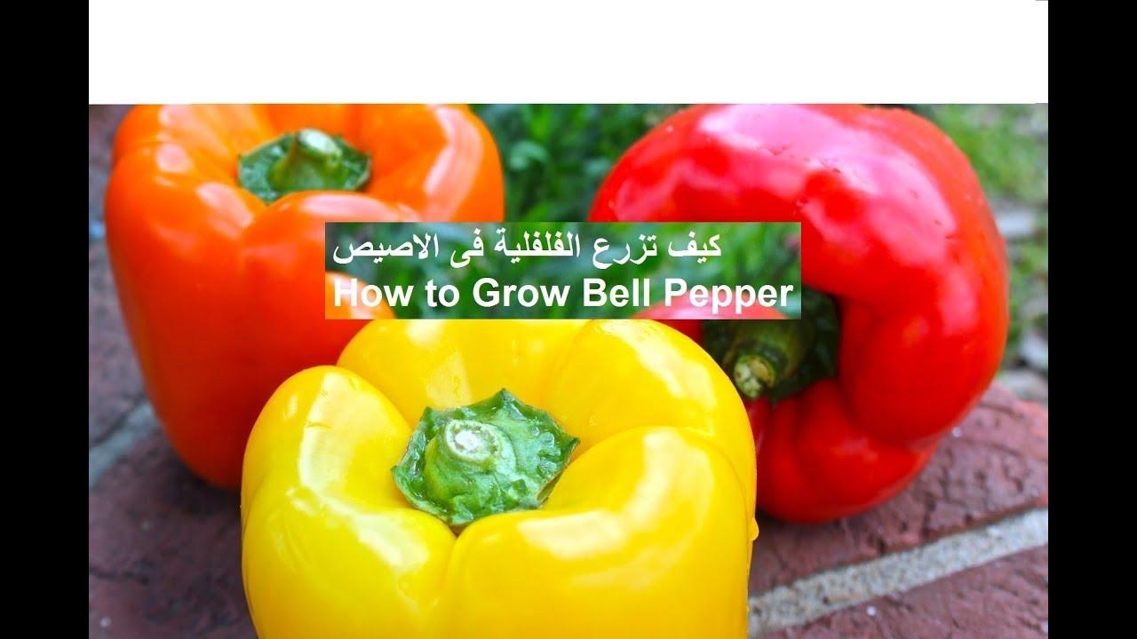زراعة الفلفل في المنزل الفلفلية الحلوة How To Grow Pepper Youtube