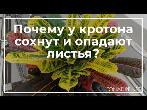 Почему у кротона сохнут и опадают листья? | toNature.Info