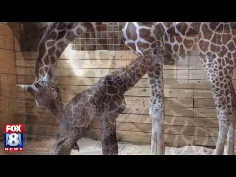 Giraffe cam is back!