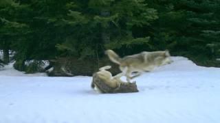 Walla Walla Wolf Pack running and playing