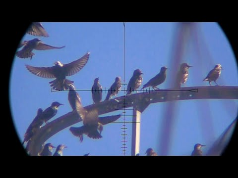 Starlings React to Dead (Shot) Starling   |   FX Impact .25 + MTC Viper Pro 5-30x50