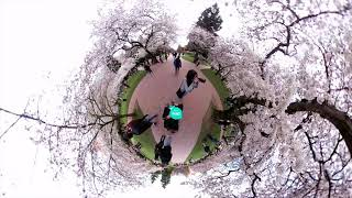 Seattle Attraction #2 Cherry Blossom at UW | 360° Experience