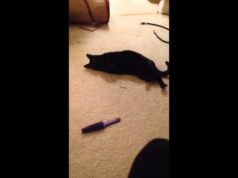 Teaching Bombay Cat to Roll Over
